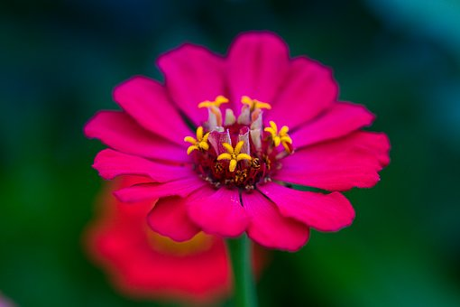 Zinnia, Composites, Asteraceae, Bright, Pink, Noble