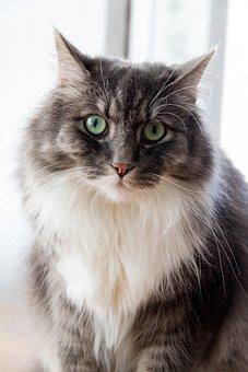 Cat, Gray, Bushy, Pet, Animal