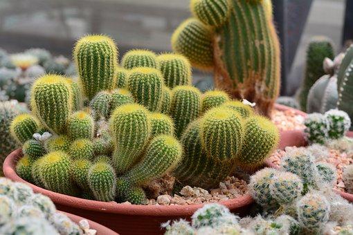 Cactus, Nature, Green, Prickly, Summer, Garden, Cacti
