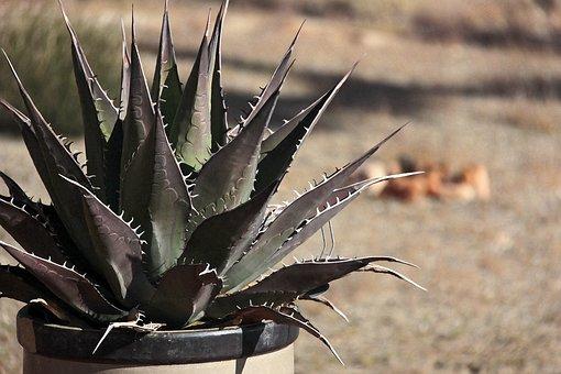 Cactus, Mojave Desert, Landscape, Geometric, Spikes