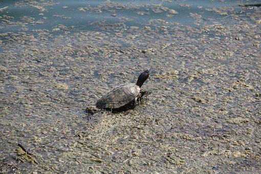 Turtle, Camouflage, Swamp, Camouflaged, Outdoors