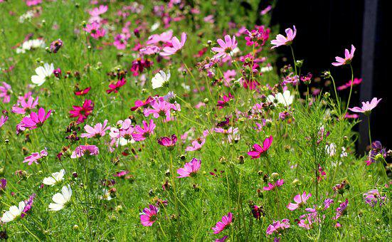 Flowers, Violet, Cosmosy, Summer, Nature