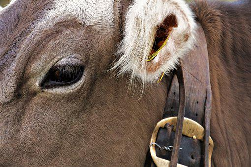 Ear, Eye, Cow, Animals, Cattle, Agriculture, Zombies