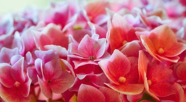 Hydrangeas, Blütenmeer, Farbenpracht, Close Up