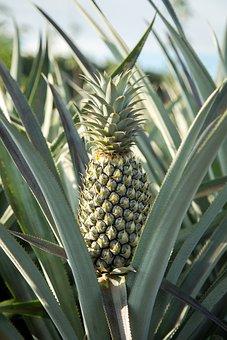 Pineapple, Farm, Garden, Nature, Plant, Harvesting