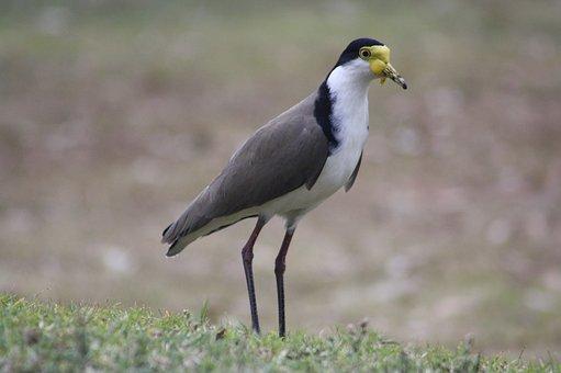 Lapwing, Plover, Bird, Wildlife, Fauna, Brisbane