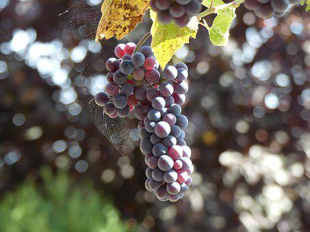 Grape, Blue, Fruit, Delicious, Fear, Ripe, Vitamins