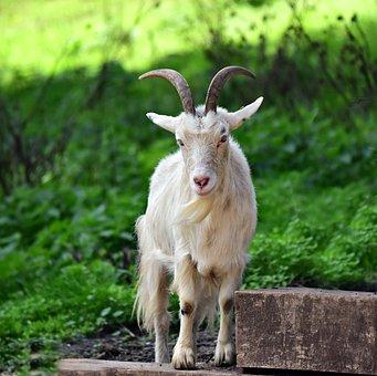 Goat, Animal, Mammal, Nanny, Female, Horn, Beard, Farm