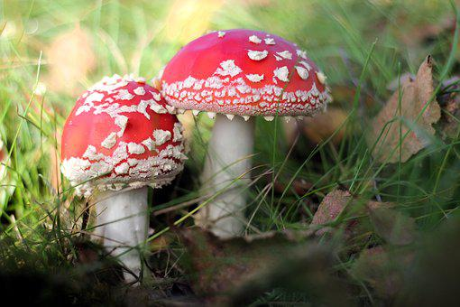 Toadstool, Fungus, Two, Toxic, Forest, Autumn