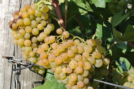 Grape, Maturation, Vintage, Wine, Grape Cultivation