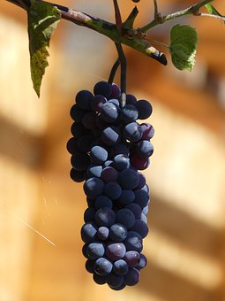 Grape, Wine, Grapevine, Moist, Blue, Ripe, Fruit