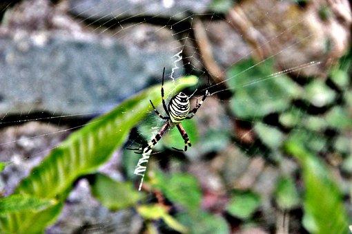 Spider, Insect, Nature, Animal, Cobweb, Web, Green