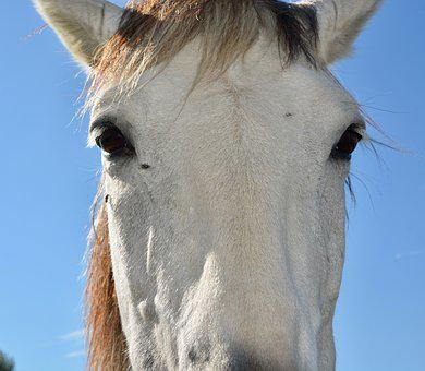 Horse, Portrait, Head, Eyes Of A Horse, Nature, Animal