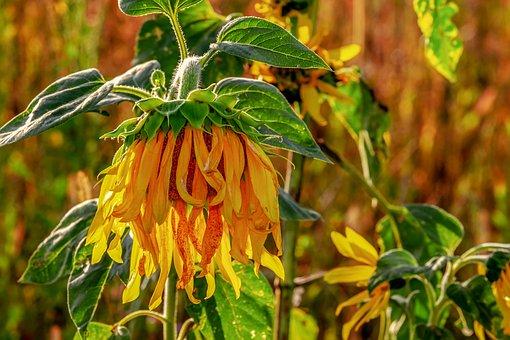 Sunflower, Helianthus, Flower, Blossom, Bloom, Hanging