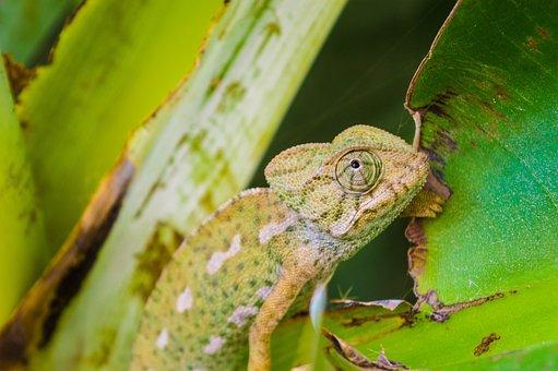 Lizard, Animal, Reptile, Iguana, Creature, Wildlife