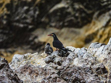 Inca Tern, Tern, Bird, Islas Ballestas, Breed, Coast