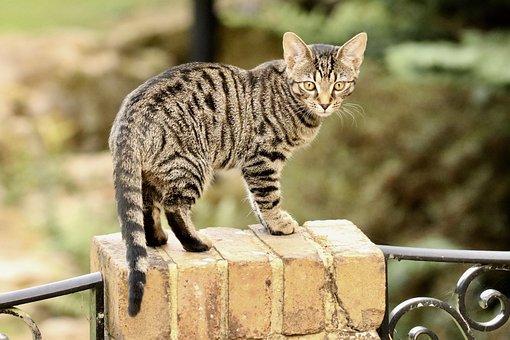 Cat, Bengal, Kitten