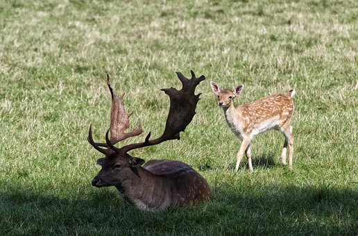 Roe Deer, Nature, Park, Animal World, Wild, Mammal