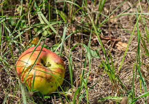 Apple, Fruit, Windfall, Orchard, Pome Fruit, Meadow