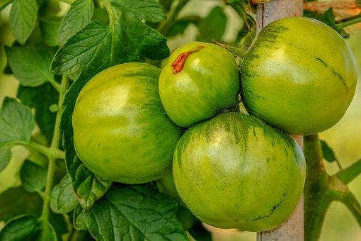Tomatoes, Bush, Vegetables, Nachtschattengewächs, Food