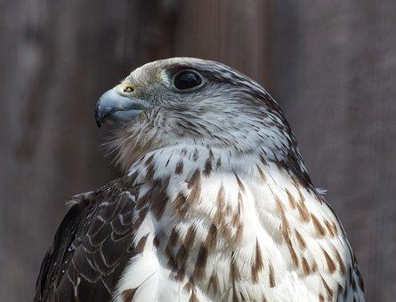 Bird, Falcon, Nature, Bird Of Prey, Animal World, Bill