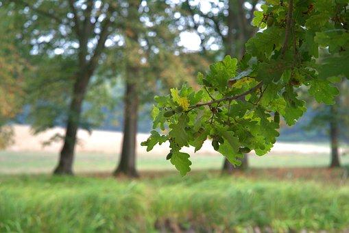 Oak, Autumn, Leaves, Flora, Nature, Brown, Plant, Leaf