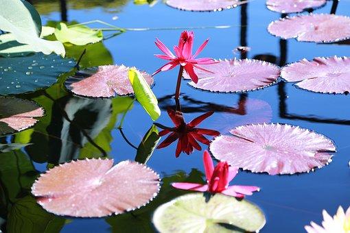 Water Lilies, Kite, Lotus, Pond, Aquatic Plants, Nature