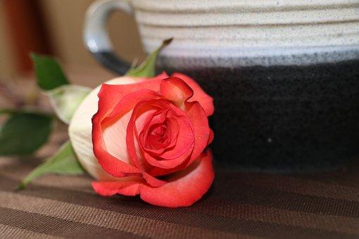 Tea Cup, Rose, Red, Orange, Tea, Flower, Still Life