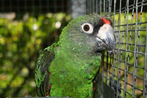 Jardine's Parrot, Bird, Parrot Poicephalus Gulielmi