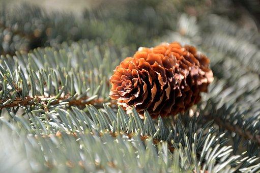 Pine Cones, Fir Tree, Tap, Conifer, Needles