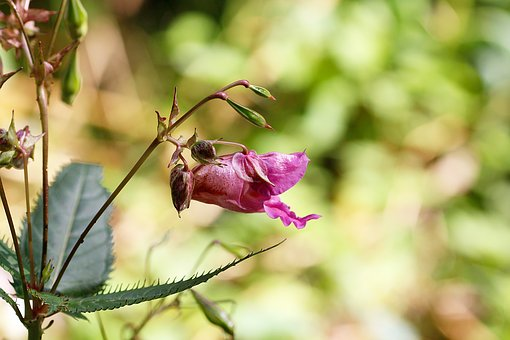 Himalayan Balsam, Forest, Plant, Nature