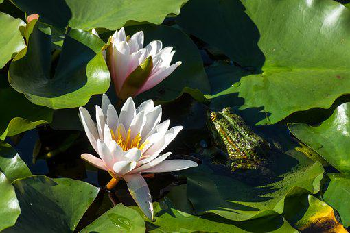 Water Lilies, Frog, Hidden, Protected, Pond, Lily Pad