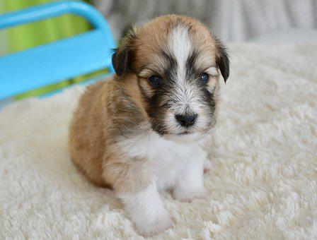 Puppy, Pup, Male, Cross Cotton Shetland Sheepdog