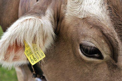 Eye, Cow, Cows, Animals, Ear, Earring, Barcode, See