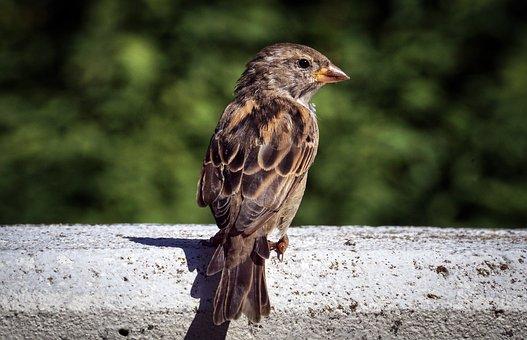 Sparrow, Bird, Sperling, Feather, Plumage, Animal World