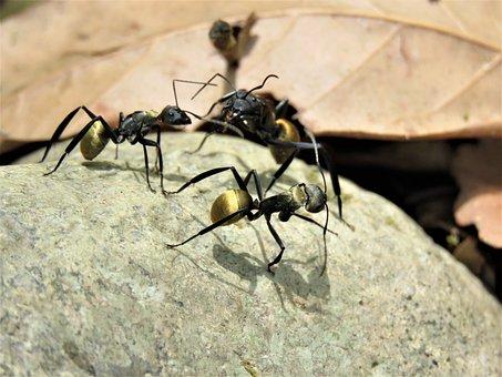 Golden Tailed Spiny Ant, Golden Tailed, Spiny Ant, Ant