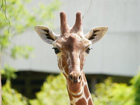 Zoo, Giraffe, Animal Portrait, Africa, Stains