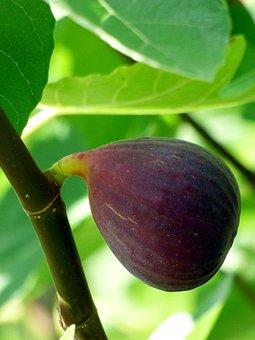 Fig, Fruit, Food, Nature, Summer, Fig Tree, Eatables