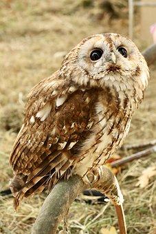 Tawny Owl, Owl, Nocturnal Bird