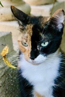 Cat, Pussy, Tawny, Black, White, Tricolor, Feline