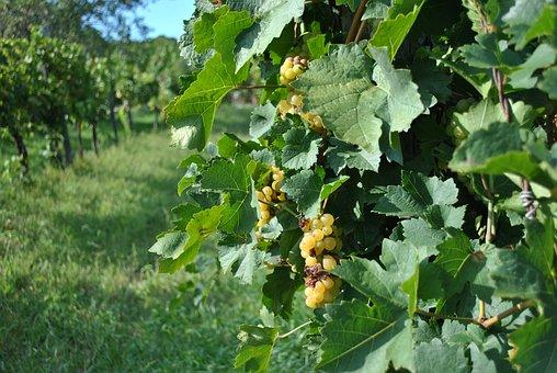 Vintage, Grape, Grape Leaves, Autumn, Viticulture