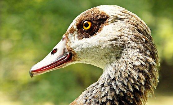 Goose, Nilgans, Animal, Bird, Nature, Bill, Water Bird