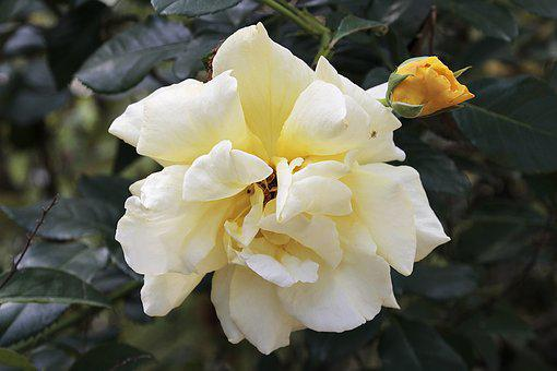 Rose, Yellow, Blossom, Bloom, Nature, Plant, Romantic