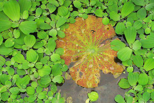Brandy Bottle, Yellow Water Lily, Water Lotus