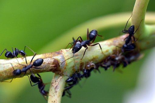 Black Ant, Insect, Garden Ant, Lasius Niger, Animalia
