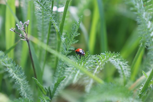 Ladybug, Meadow, Insect, Plant, Beetle, Grass, Spring