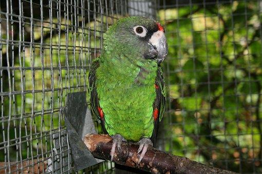 Jardine's Parrot, Bird, Parrot, Animals, Plumage