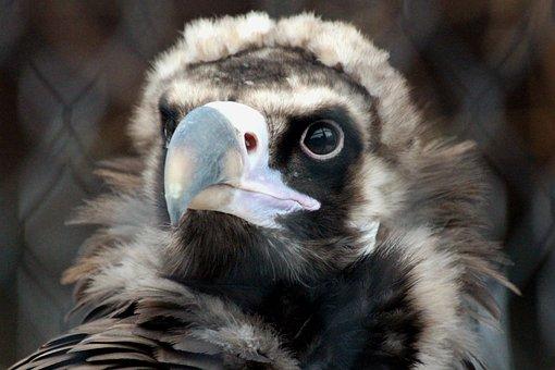 Vulture, Black Vulture, Aegypius Monachus, Predator