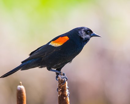 Blackbird, Perched, Red-winged, Wildlife