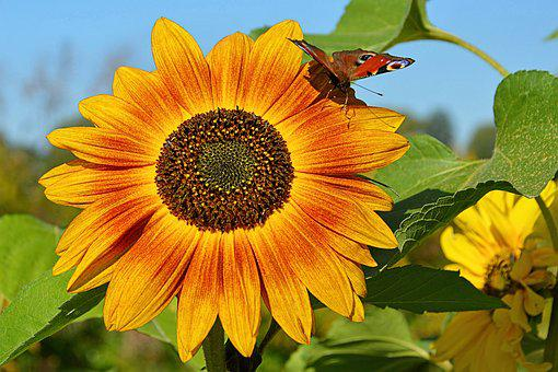 Blossom, Bloom, Sunflower, Insect, Butterfly